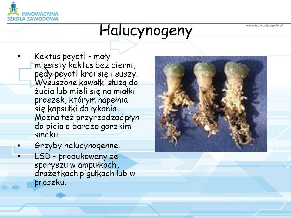 Halucynogeny Kaktus peyotl - mały mięsisty kaktus bez cierni, pędy peyotl kroi się i suszy.