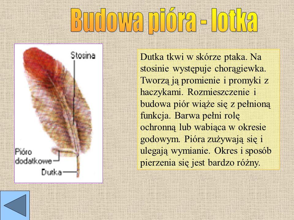 Przednia para kończyn ptaków przekształciła się w skrzydła. Tylnie koniczyny umożliwiają poruszanie się po gałęziach, pniach i chodzenie po ziemi.