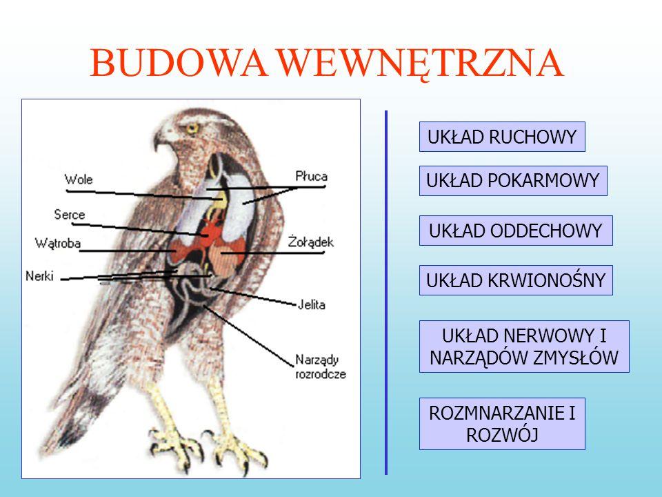 BUDOWA ZEWNĘTRZNA ptaka wiąże się z jego trybem życia. Przednia część głowy jest wydłużona, a rogowe osłony szczęk tworzą dziób. Zależnie od tego, czy