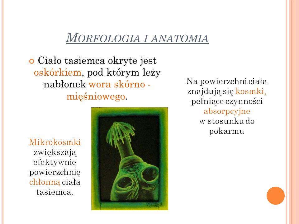 M ORFOLOGIA I ANATOMIA Ciało tasiemca okryte jest oskórkiem, pod którym leży nabłonek wora skórno - mięśniowego. Na powierzchni ciała znajdują się kos