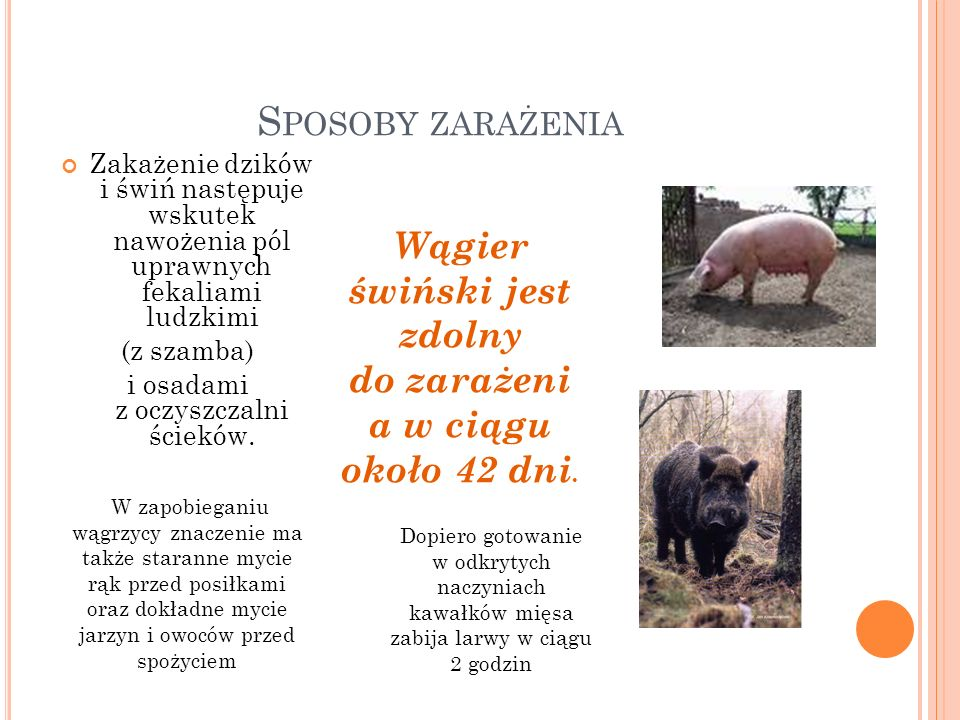 S POSOBY ZARAŻENIA Zakażenie dzików i świń następuje wskutek nawożenia pól uprawnych fekaliami ludzkimi (z szamba) i osadami z oczyszczalni ścieków. W