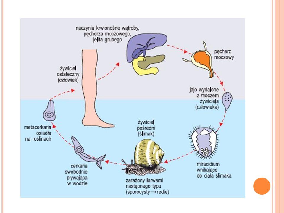 Najważniejsze uszkodzenia spowodowane przez pasożyty polegają na mechanicznym zaczopowaniu przewodów żółciowych wątroby, na drażnieniu i niszczeniu miąższu wątroby, zbliznowaceniach powodujących w końcu ciężkie schorzenie tego ważnego narządu i na stratach krwi żywiciela.