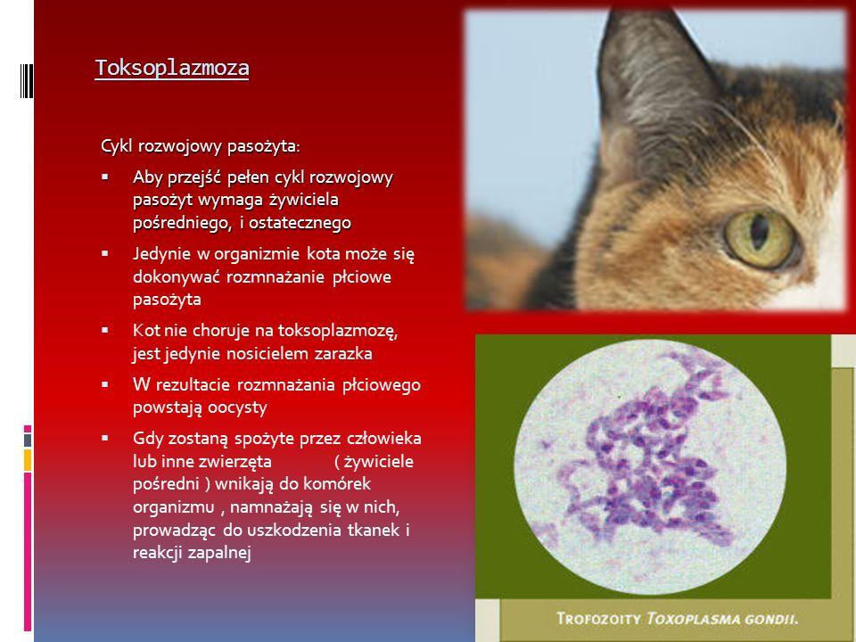 Toksoplazmoza Cykl rozwojowy pasożyta: Aby przejść pełen cykl rozwojowy pasożyt wymaga żywiciela pośredniego, i ostatecznego Aby przejść pełen cykl rozwojowy pasożyt wymaga żywiciela pośredniego, i ostatecznego Jedynie w organizmie kota może się dokonywać rozmnażanie płciowe pasożyta Kot nie choruje na toksoplazmozę, jest jedynie nosicielem zarazka W rezultacie rozmnażania płciowego powstają oocysty Gdy zostaną spożyte przez człowieka lub inne zwierzęta ( żywiciele pośredni ) wnikają do komórek organizmu, namnażają się w nich, prowadząc do uszkodzenia tkanek i reakcji zapalnej