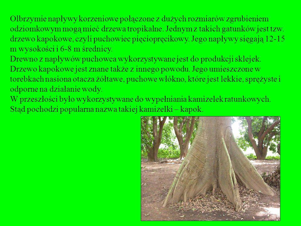 Drewno napływowe jest wykorzystywane do produkcji sklejek. Dodatnio wpływa na sortyment opałowy. Mocniej utrzymuje drzewo w podłożu. Napływy korzeniow