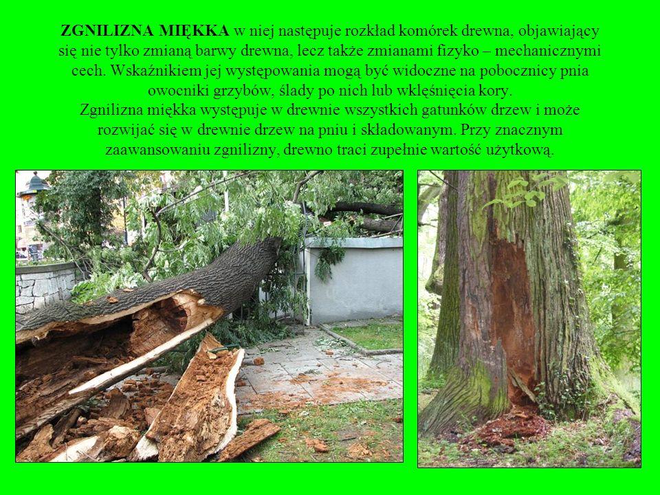 Spróchniałe drewno drzew liściastych poszukiwane w pszczelarstwie do podkurzaczy, ale jego wytrzymałość jest znikoma.