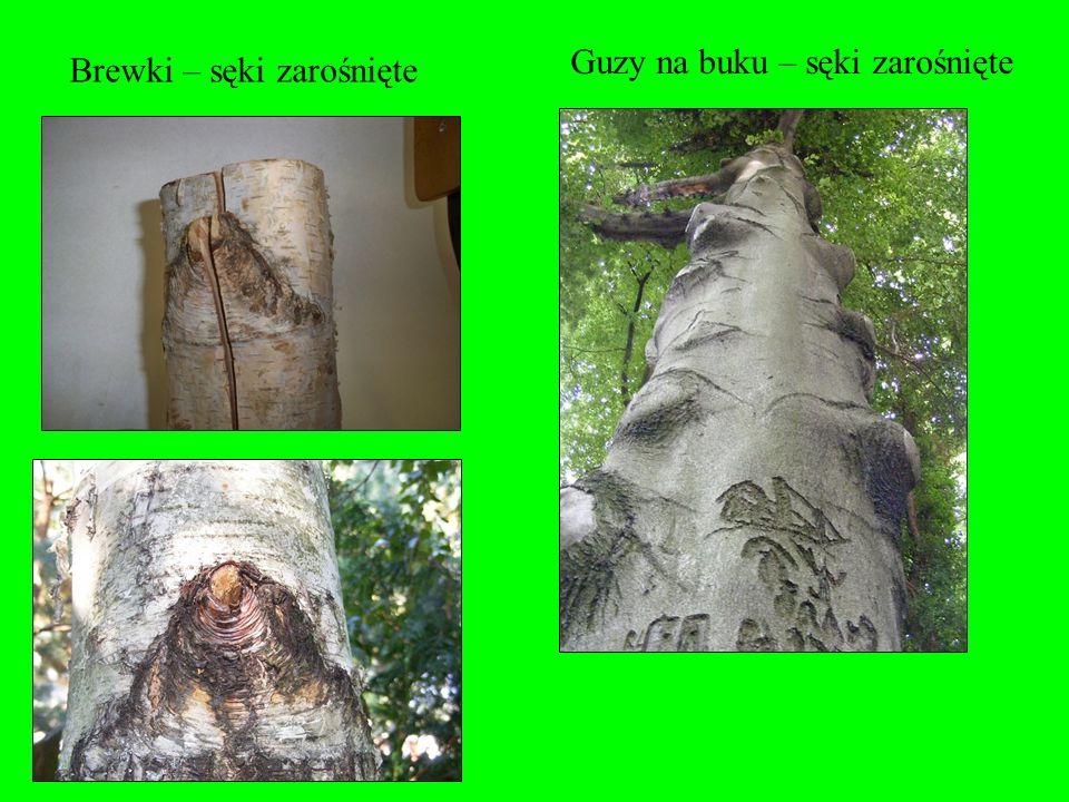 Sęki zdrowe wpływają dodatnio na wytrzymałość drewna na rozłupywanie. Duże walory estetyczne sęków zdrowych. Są niezbędne do podtrzymywania aparatu as