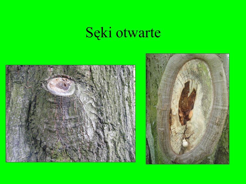 Sęki otwarte Są widoczne na pobocznicy drewna okrągłego po okrzesaniu pnia z gałęzi. Występują w drewnie wszystkich gatunków drzew, obniżają niektóre