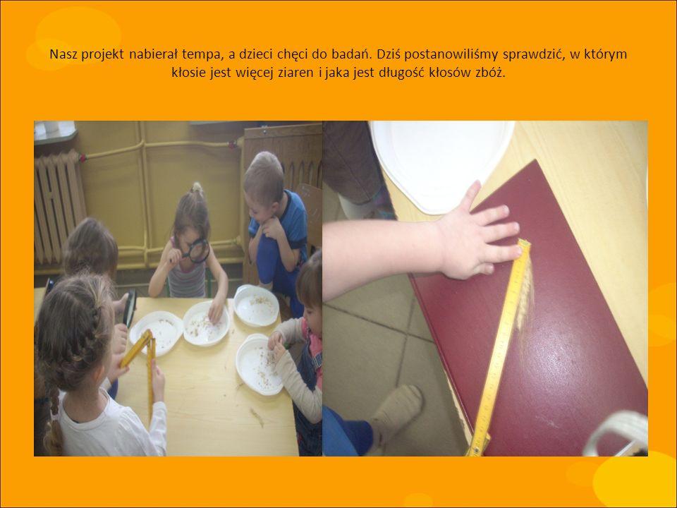 Nasz projekt nabierał tempa, a dzieci chęci do badań. Dziś postanowiliśmy sprawdzić, w którym kłosie jest więcej ziaren i jaka jest długość kłosów zbó