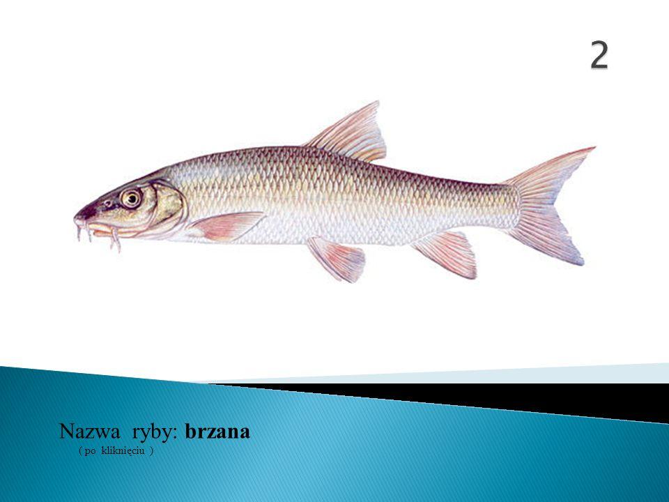 Nazwa ryby: ( po kliknięciu ) brzana