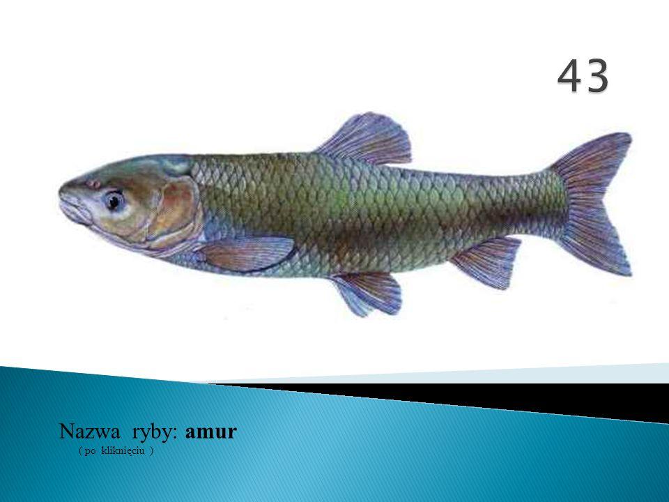 Nazwa ryby: ( po kliknięciu ) amur