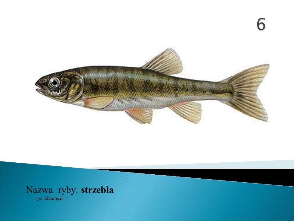 Nazwa ryby: ( po kliknięciu ) strzebla