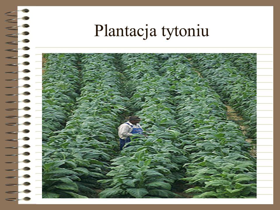 Plantacja tytoniu