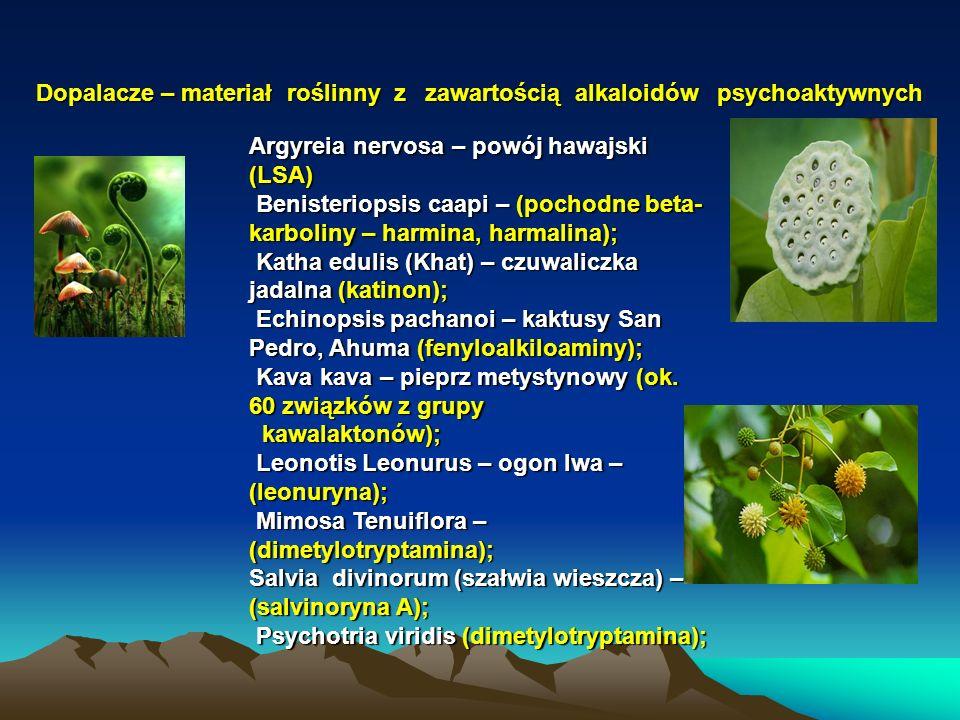Dopalacze – materiał roślinny z zawartością alkaloidów psychoaktywnych Argyreia nervosa – powój hawajski (LSA) Benisteriopsis caapi – (pochodne beta- karboliny – harmina, harmalina); Benisteriopsis caapi – (pochodne beta- karboliny – harmina, harmalina); Katha edulis (Khat) – czuwaliczka jadalna (katinon); Katha edulis (Khat) – czuwaliczka jadalna (katinon); Echinopsis pachanoi – kaktusy San Pedro, Ahuma (fenyloalkiloaminy); Echinopsis pachanoi – kaktusy San Pedro, Ahuma (fenyloalkiloaminy); Kava kava – pieprz metystynowy (ok.