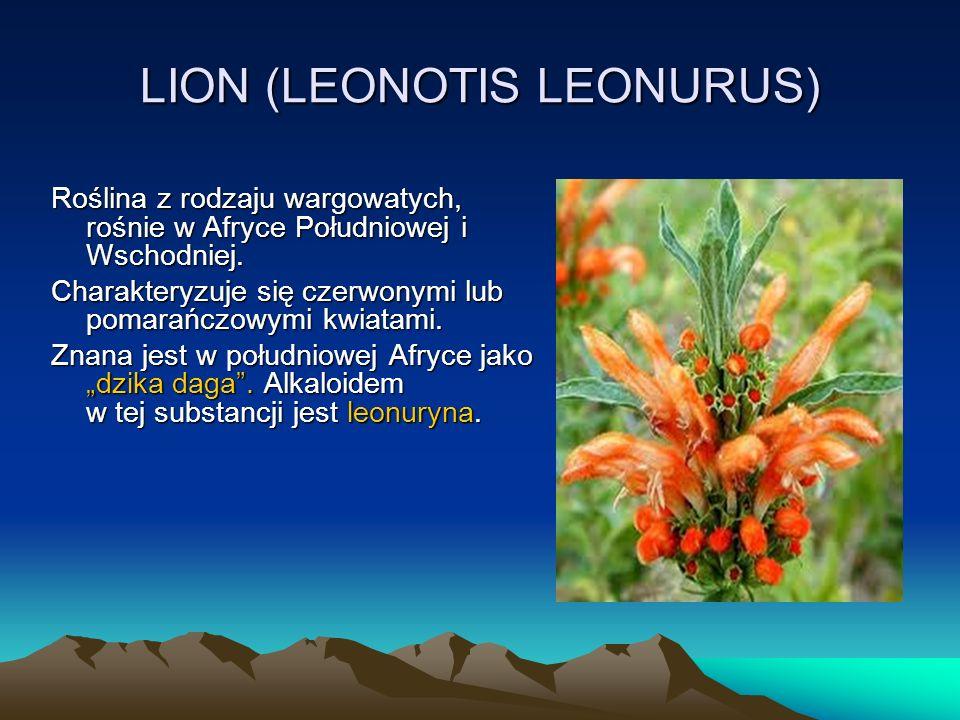 LION (LEONOTIS LEONURUS) Roślina z rodzaju wargowatych, rośnie w Afryce Południowej i Wschodniej.