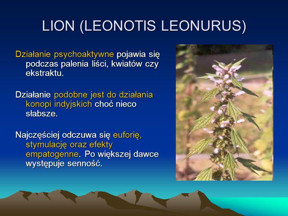 LION (LEONOTIS LEONURUS) Działanie psychoaktywne pojawia się podczas palenia liści, kwiatów czy ekstraktu.