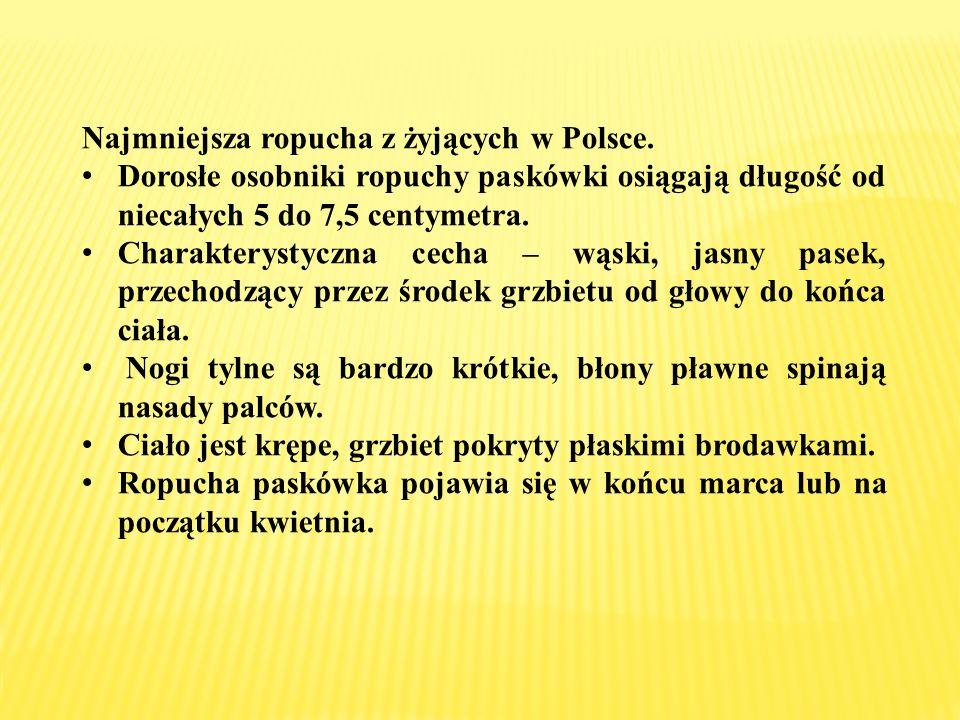 Najmniejsza ropucha z żyjących w Polsce. Dorosłe osobniki ropuchy paskówki osiągają długość od niecałych 5 do 7,5 centymetra. Charakterystyczna cecha