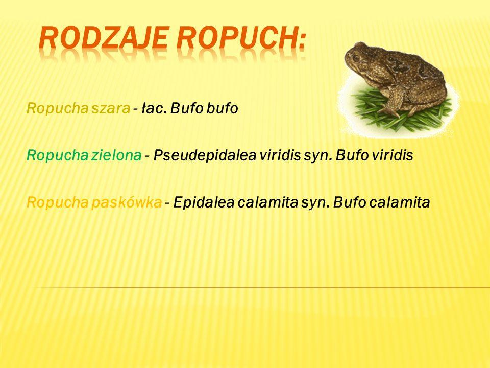 Ropucha szara - łac. Bufo bufo Ropucha zielona - Pseudepidalea viridis syn. Bufo viridis Ropucha paskówka - Epidalea calamita syn. Bufo calamita