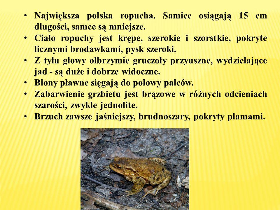 Największa polska ropucha. Samice osiągają 15 cm długości, samce są mniejsze. Ciało ropuchy jest krępe, szerokie i szorstkie, pokryte licznymi brodawk