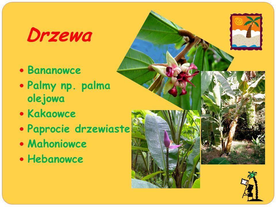 Drzewa Bananowce Palmy np. palma olejowa Kakaowce Paprocie drzewiaste Mahoniowce Hebanowce