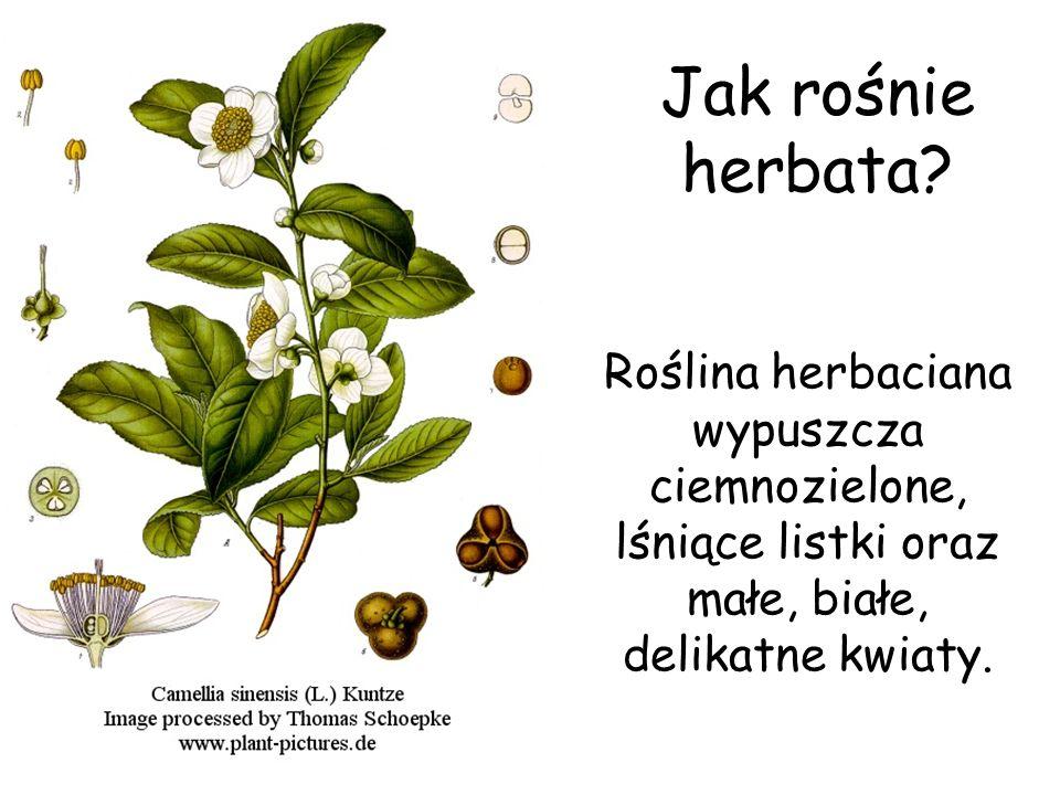 Jak rośnie herbata? Roślina herbaciana wypuszcza ciemnozielone, lśniące listki oraz małe, białe, delikatne kwiaty.