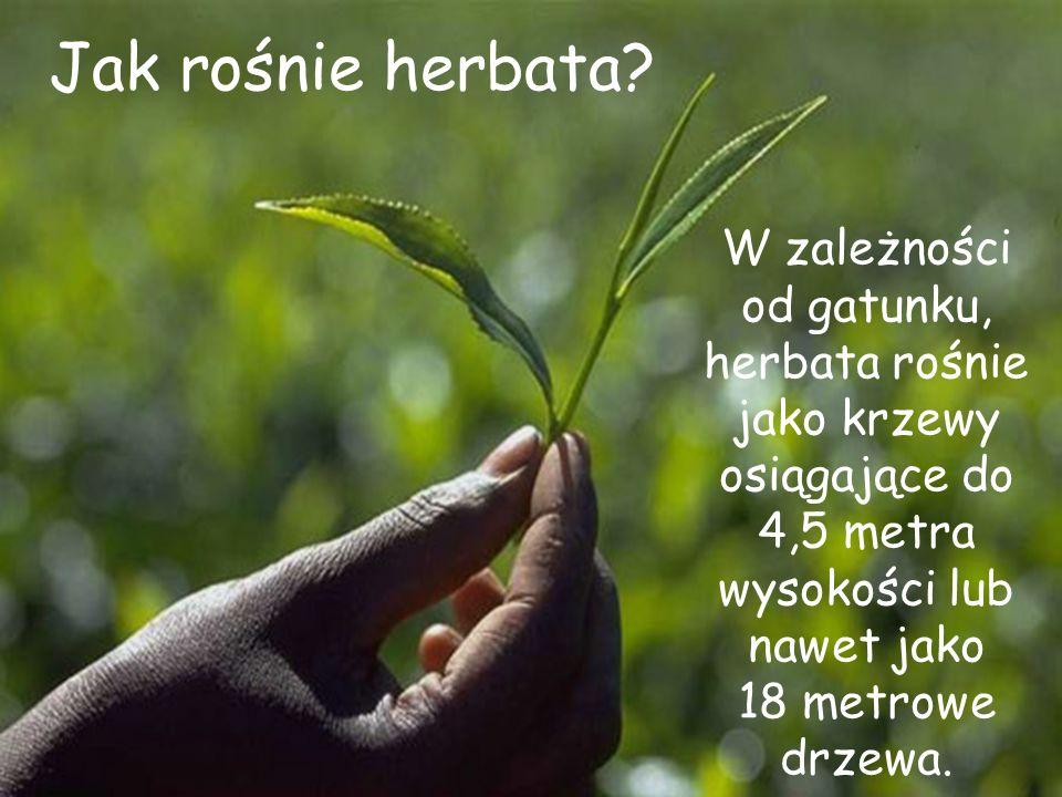 Jak rośnie herbata? W zależności od gatunku, herbata rośnie jako krzewy osiągające do 4,5 metra wysokości lub nawet jako 18 metrowe drzewa.