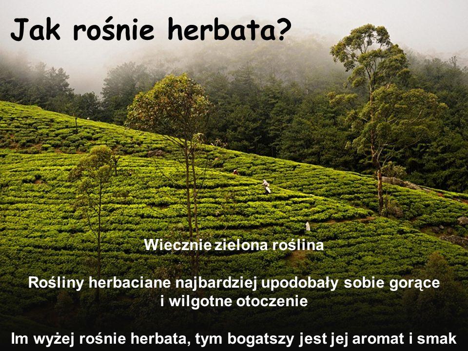 Jak rośnie herbata? Wiecznie zielona roślina Rośliny herbaciane najbardziej upodobały sobie gorące i wilgotne otoczenie Im wyżej rośnie herbata, tym b