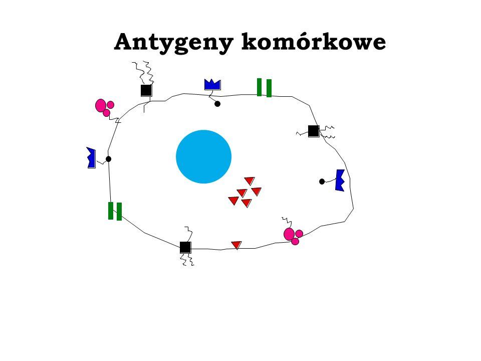 Badania czynnościowe limfocytów in vivo Testy skórne Śródskórne podanie antygenu jest stosowane do badania czynnościowej wydolności limfocytów Reakcja na ś.