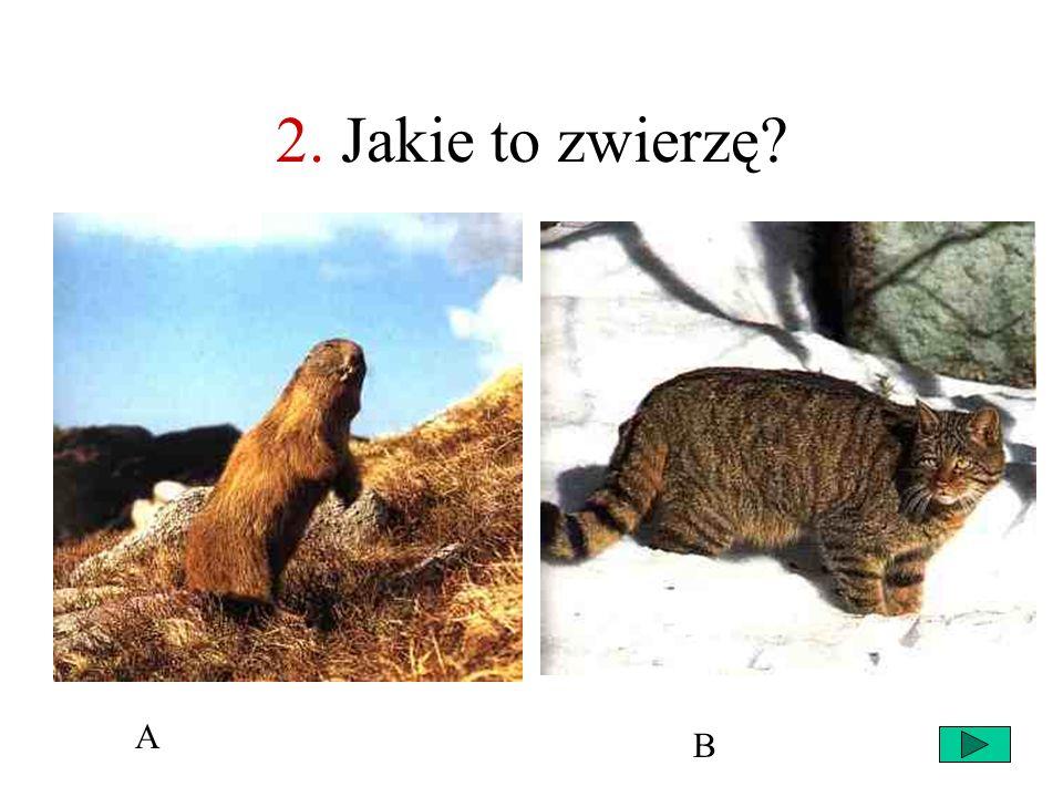 27 1. Niedźwiedź brunatny Ryś