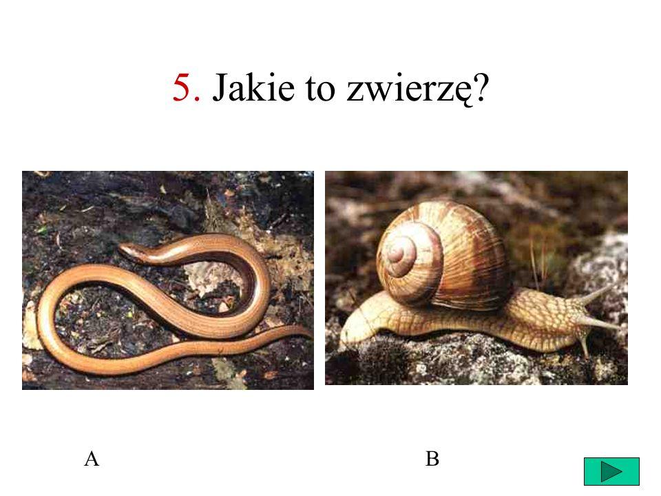 33 4. Wąż eskulapa Paź królowej