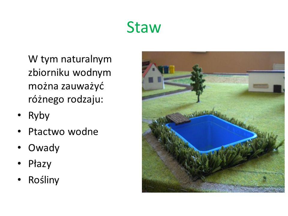 Staw W tym naturalnym zbiorniku wodnym można zauważyć różnego rodzaju: Ryby Ptactwo wodne Owady Płazy Rośliny