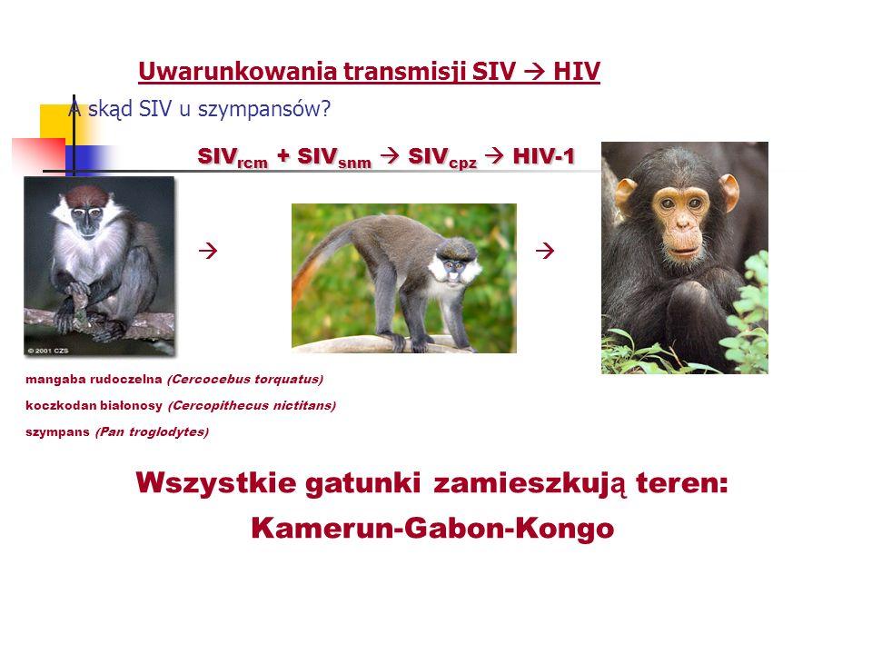 Uwarunkowania transmisji SIV HIV A skąd SIV u szympansów? SIV rcm + SIV snm SIV cpz HIV-1 mangaba rudoczelna (Cercocebus torquatus) koczkodan białonos