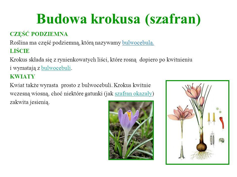 Budowa krokusa (szafran) CZĘŚĆ PODZIEMNA Roślina ma część podziemną, którą nazywamy bulwocebulą. LIŚCIE Krokus składa się z rynienkowatych liści, któr