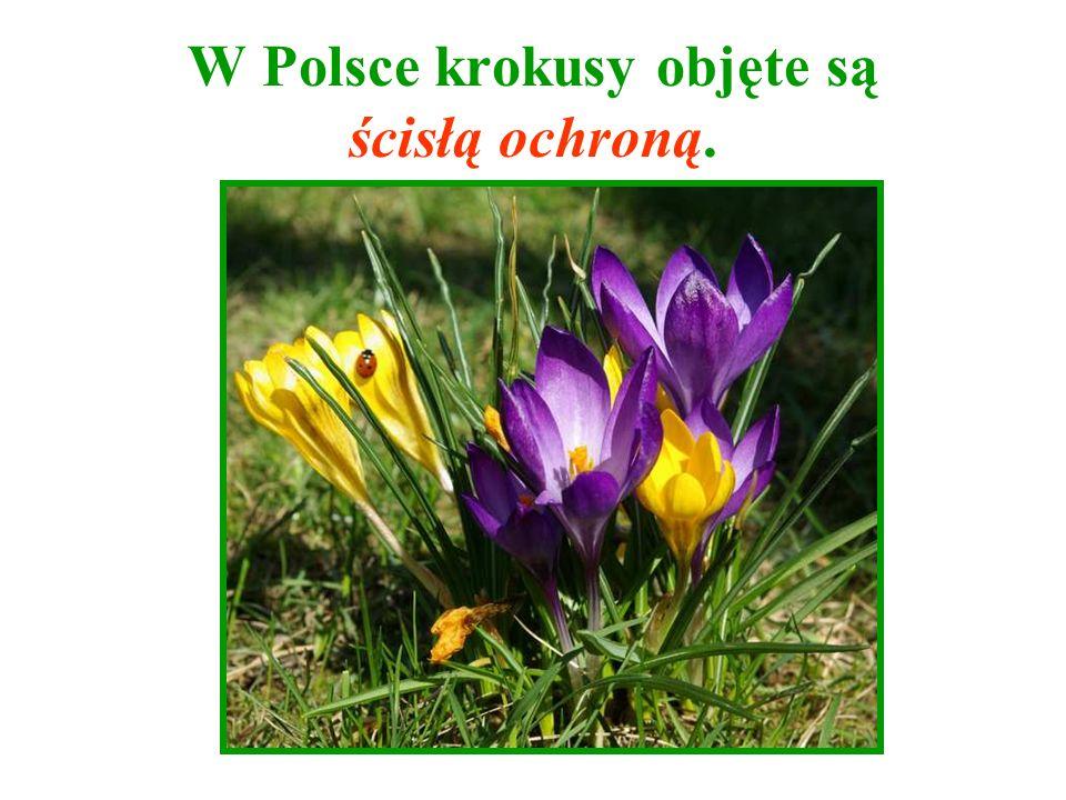 W Polsce krokusy objęte są ścisłą ochroną.