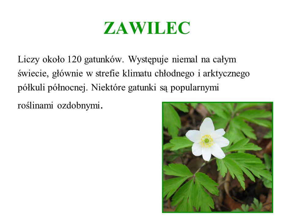 ZAWILEC Liczy około 120 gatunków. Występuje niemal na całym świecie, głównie w strefie klimatu chłodnego i arktycznego półkuli północnej. Niektóre gat