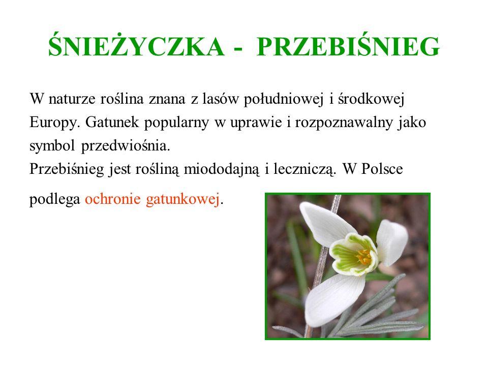 ŚNIEŻYCZKA - PRZEBIŚNIEG W naturze roślina znana z lasów południowej i środkowej Europy. Gatunek popularny w uprawie i rozpoznawalny jako symbol przed