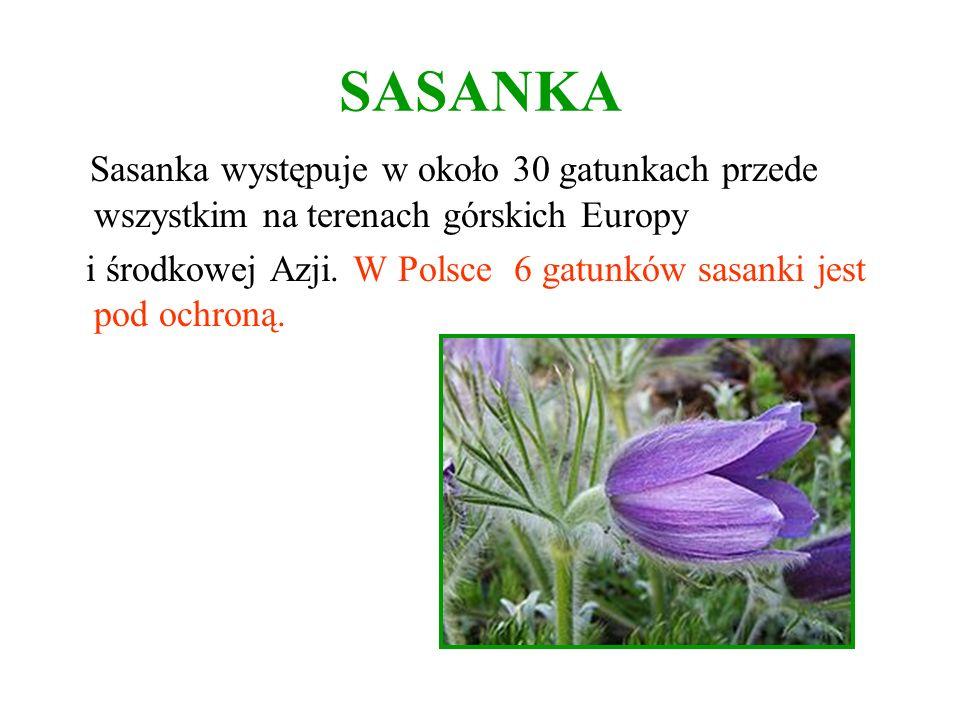 SASANKA Sasanka występuje w około 30 gatunkach przede wszystkim na terenach górskich Europy i środkowej Azji. W Polsce 6 gatunków sasanki jest pod och