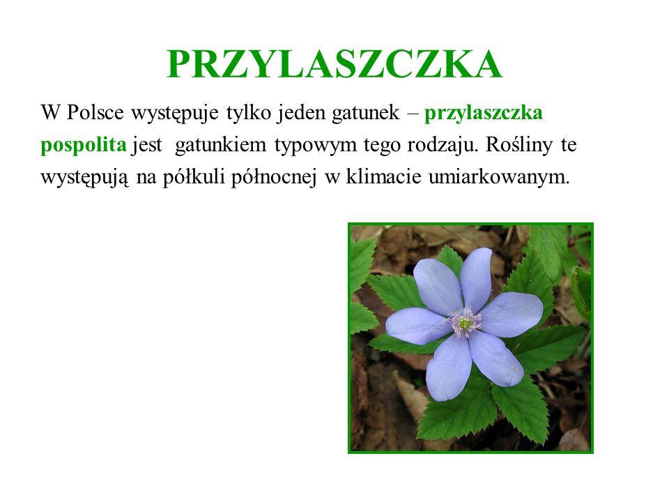 PRZYLASZCZKA W Polsce występuje tylko jeden gatunek – przylaszczka pospolita jest gatunkiem typowym tego rodzaju. Rośliny te występują na półkuli półn