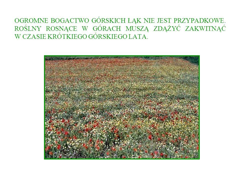 ŚNIEŻYCZKA - PRZEBIŚNIEG W naturze roślina znana z lasów południowej i środkowej Europy.
