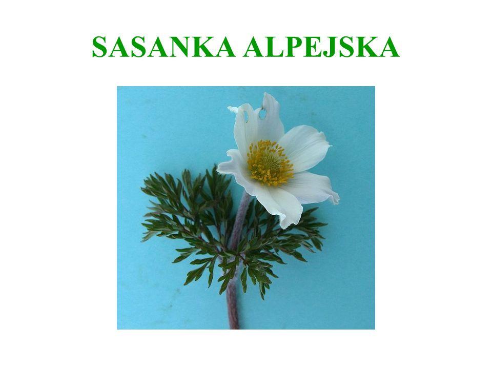 SASANKA Sasanka występuje w około 30 gatunkach przede wszystkim na terenach górskich Europy i środkowej Azji.