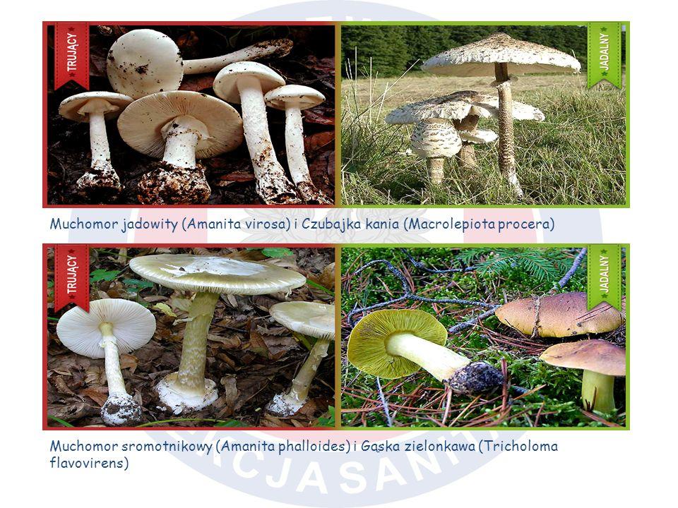 Muchomor jadowity (Amanita virosa) i Czubajka kania (Macrolepiota procera) Muchomor sromotnikowy (Amanita phalloides) i Gąska zielonkawa (Tricholoma f