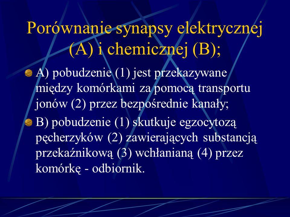 Porównanie synapsy elektrycznej (A) i chemicznej (B); A) pobudzenie (1) jest przekazywane między komórkami za pomocą transportu jonów (2) przez bezpoś