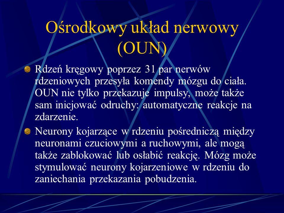 Ośrodkowy układ nerwowy (OUN) Rdzeń kręgowy poprzez 31 par nerwów rdzeniowych przesyła komendy mózgu do ciała. OUN nie tylko przekazuje impulsy, może
