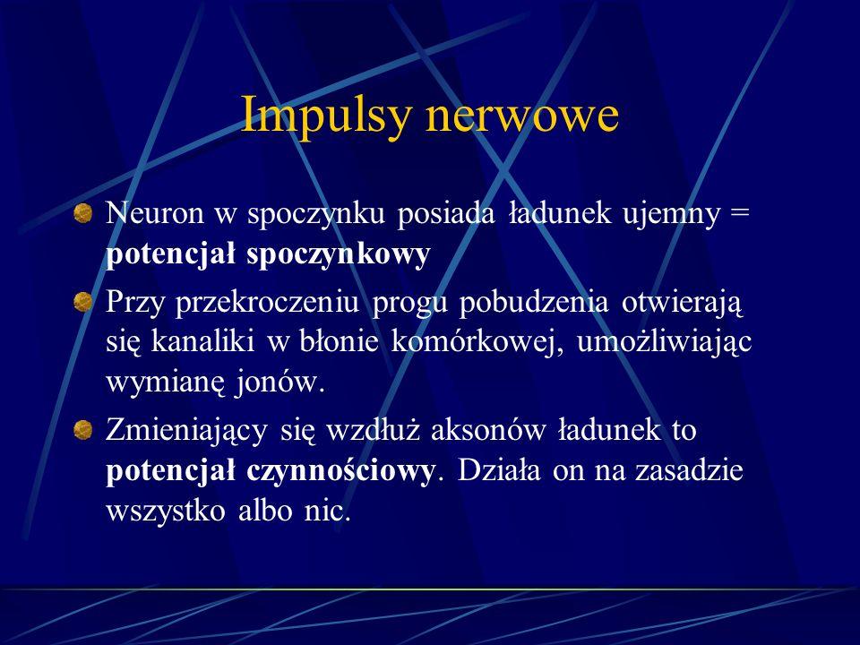 Impulsy nerwowe Neuron w spoczynku posiada ładunek ujemny = potencjał spoczynkowy Przy przekroczeniu progu pobudzenia otwierają się kanaliki w błonie