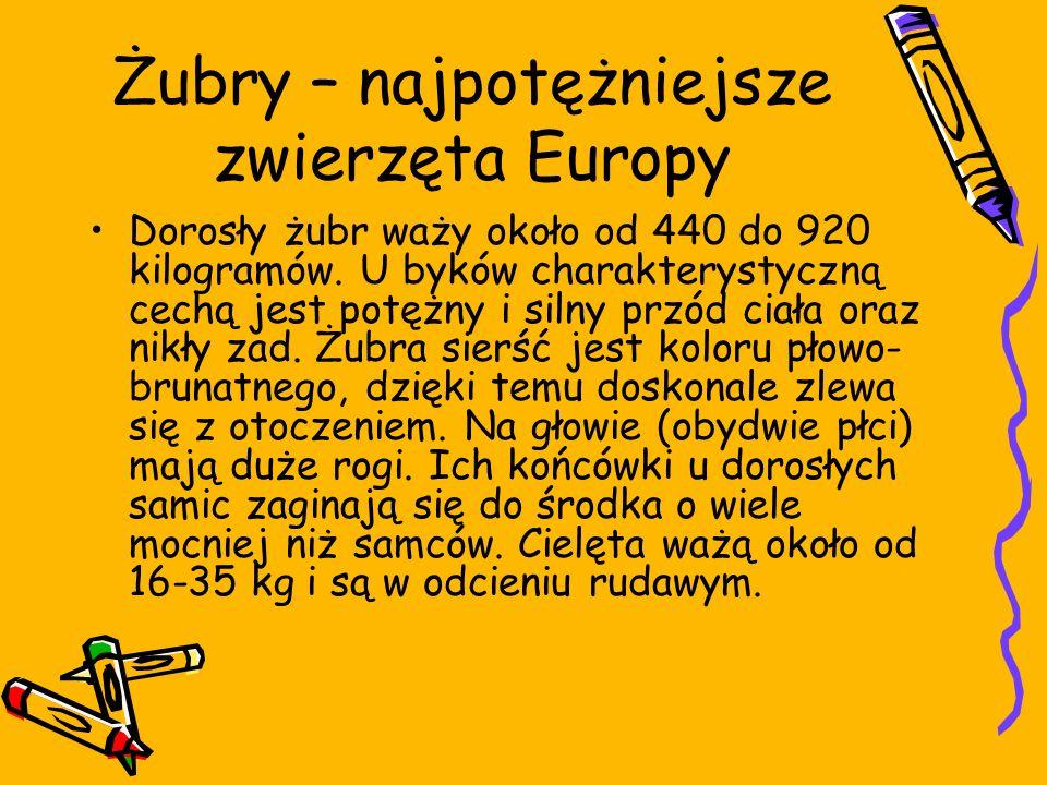 Żubry – najpotężniejsze zwierzęta Europy Dorosły żubr waży około od 440 do 920 kilogramów. U byków charakterystyczną cechą jest potężny i silny przód