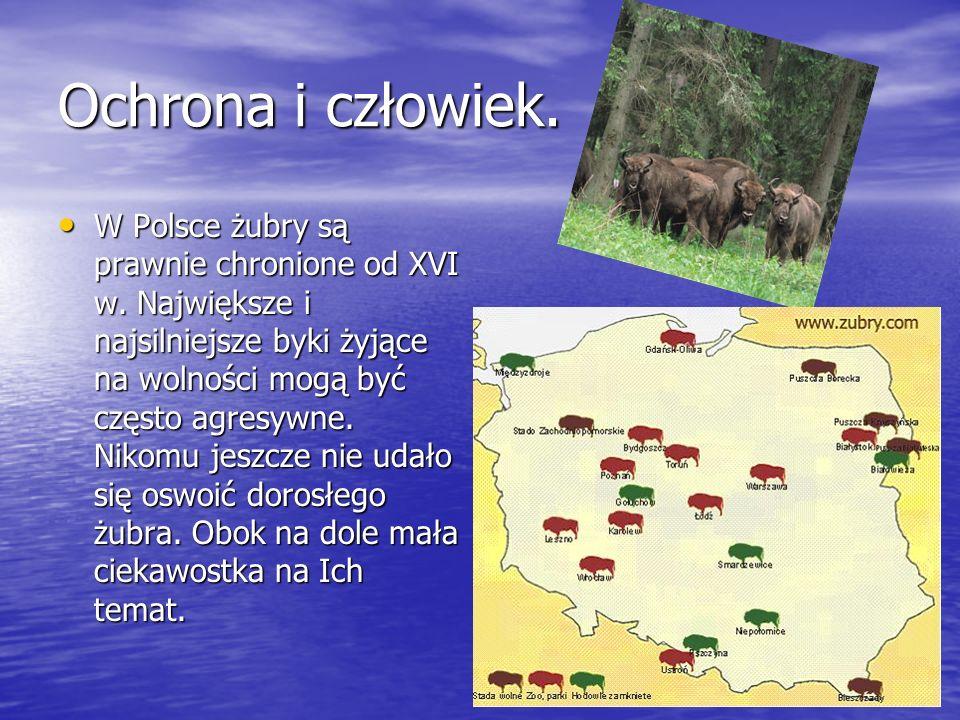 Ochrona i człowiek. W Polsce żubry są prawnie chronione od XVI w. Największe i najsilniejsze byki żyjące na wolności mogą być często agresywne. Nikomu