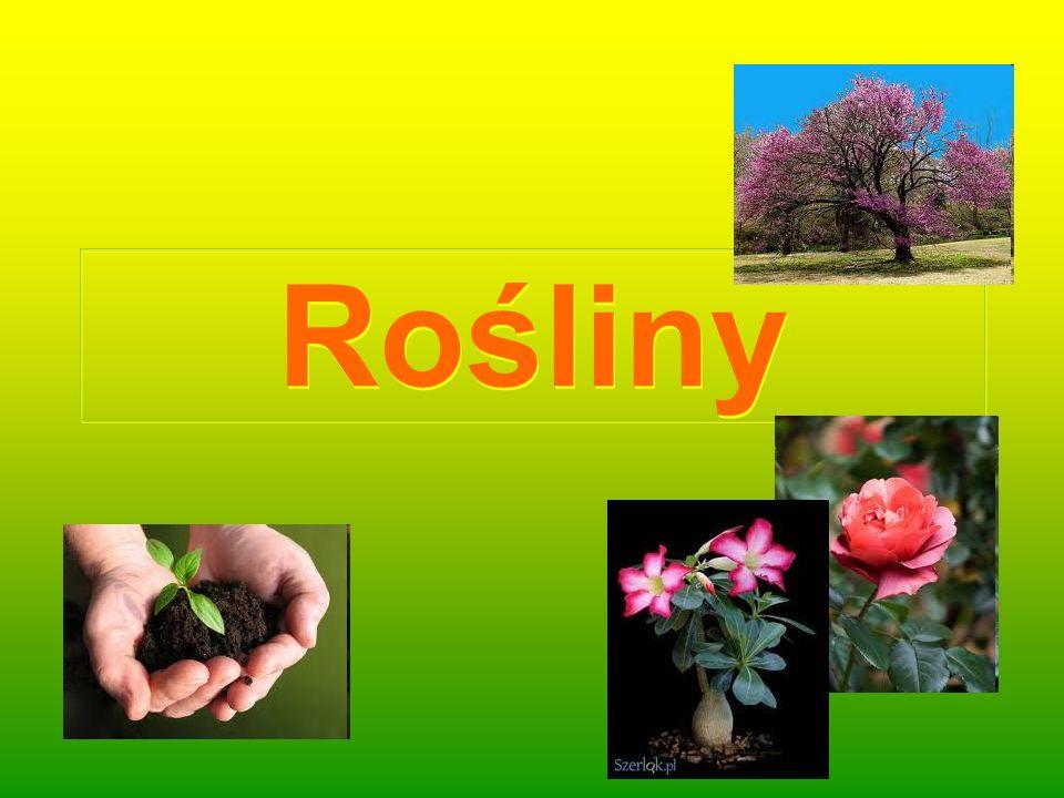 Roślina lecznicza- rumianek pospolity Rumianek pospolity (Matricaria chamomilla L.) –gatunek rośliny z rodziny astrowatych.