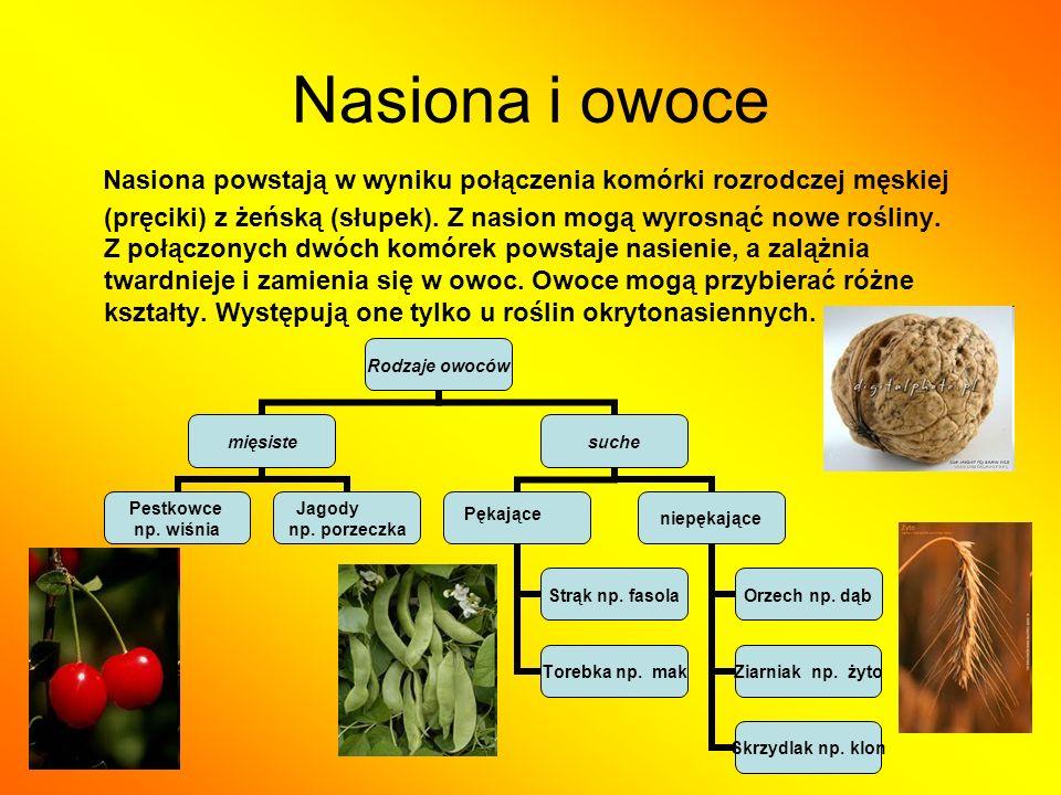 Nasiona i owoce Nasiona powstają w wyniku połączenia komórki rozrodczej męskiej (pręciki) z żeńską (słupek). Z nasion mogą wyrosnąć nowe rośliny. Z po