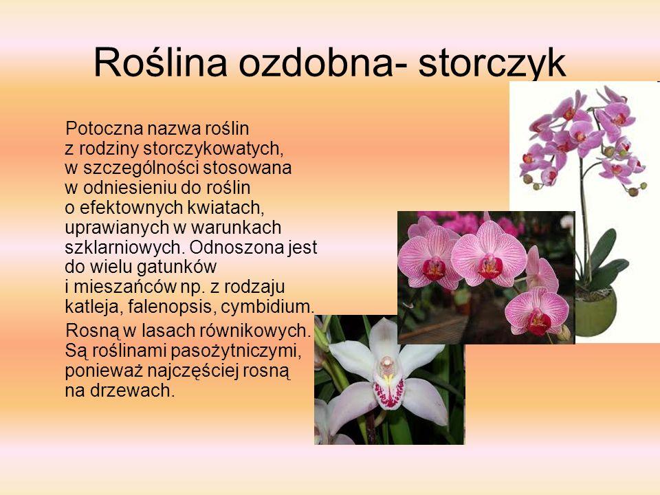 Roślina ozdobna- storczyk Potoczna nazwa roślin z rodziny storczykowatych, w szczególności stosowana w odniesieniu do roślin o efektownych kwiatach, u