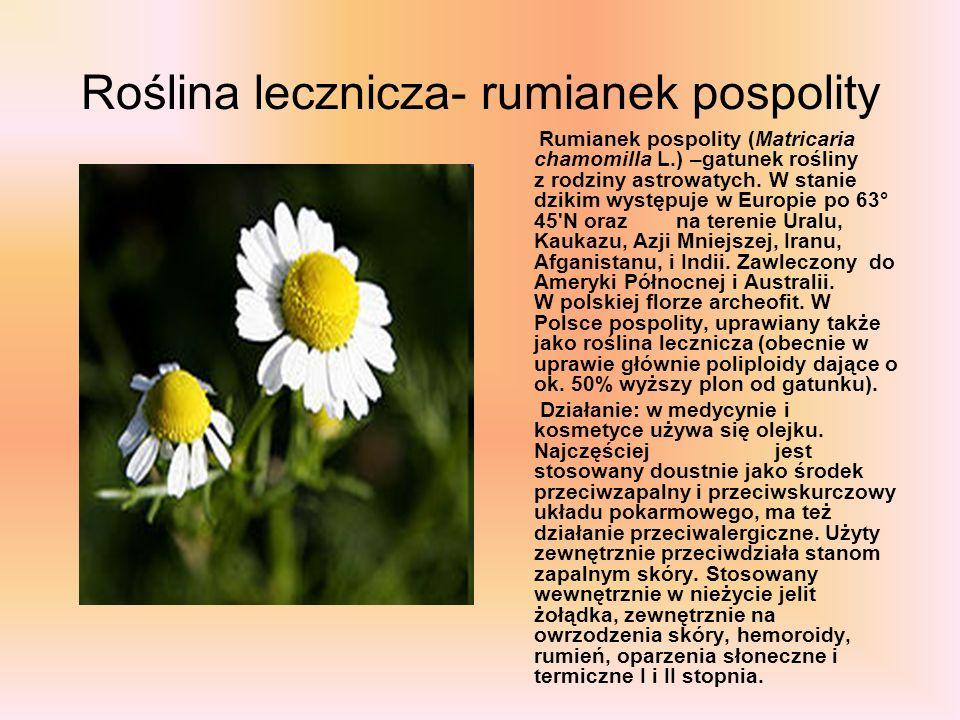 Roślina lecznicza- rumianek pospolity Rumianek pospolity (Matricaria chamomilla L.) –gatunek rośliny z rodziny astrowatych. W stanie dzikim występuje