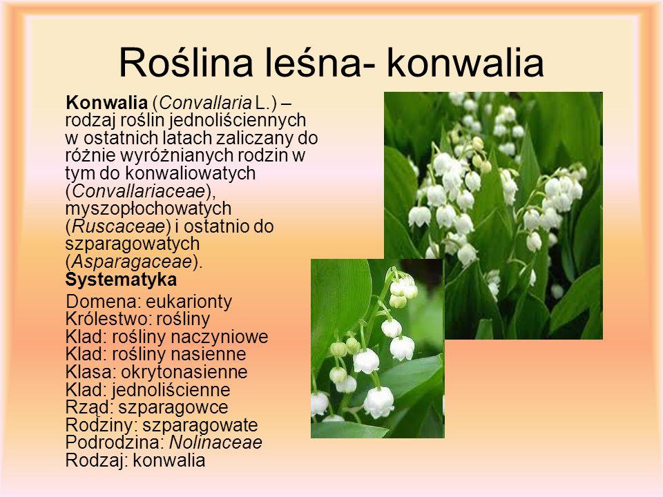 Roślina leśna- konwalia Konwalia (Convallaria L.) – rodzaj roślin jednoliściennych w ostatnich latach zaliczany do różnie wyróżnianych rodzin w tym do